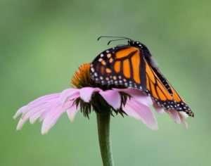 Monarch Loves Echinacea purpurea nectar