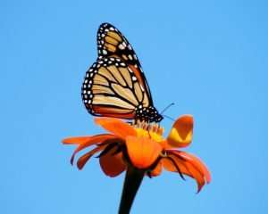 Monarch nectars before migrating south in late September