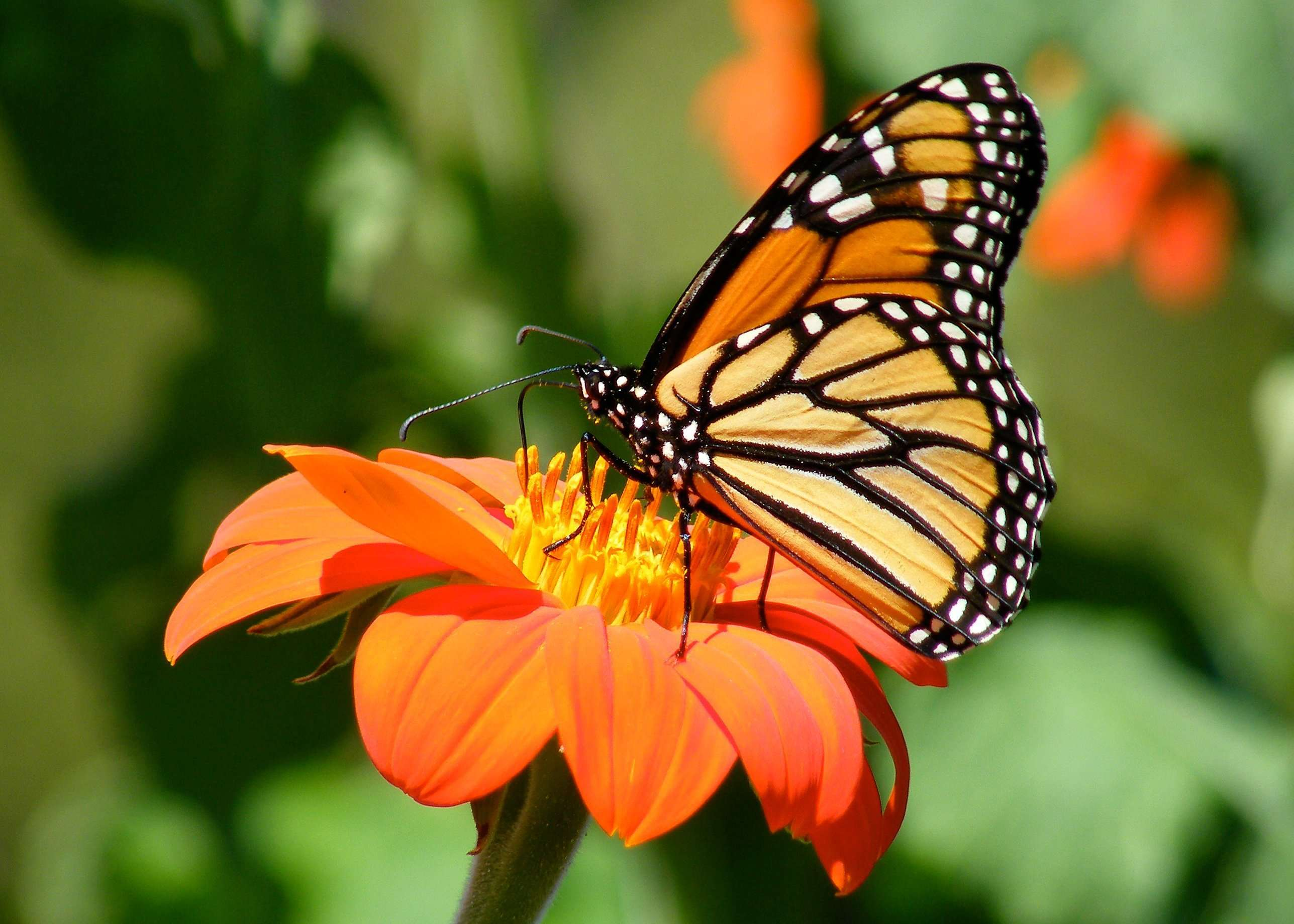 Monarch Butterfly nectaring on Mexican Torch Sunflower