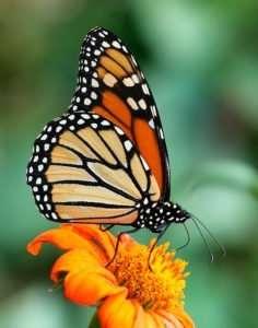 The Monarch latin name is Danaus plexippus