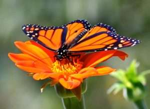 Male Monarch butterfly on Mexican Torch Sunflower