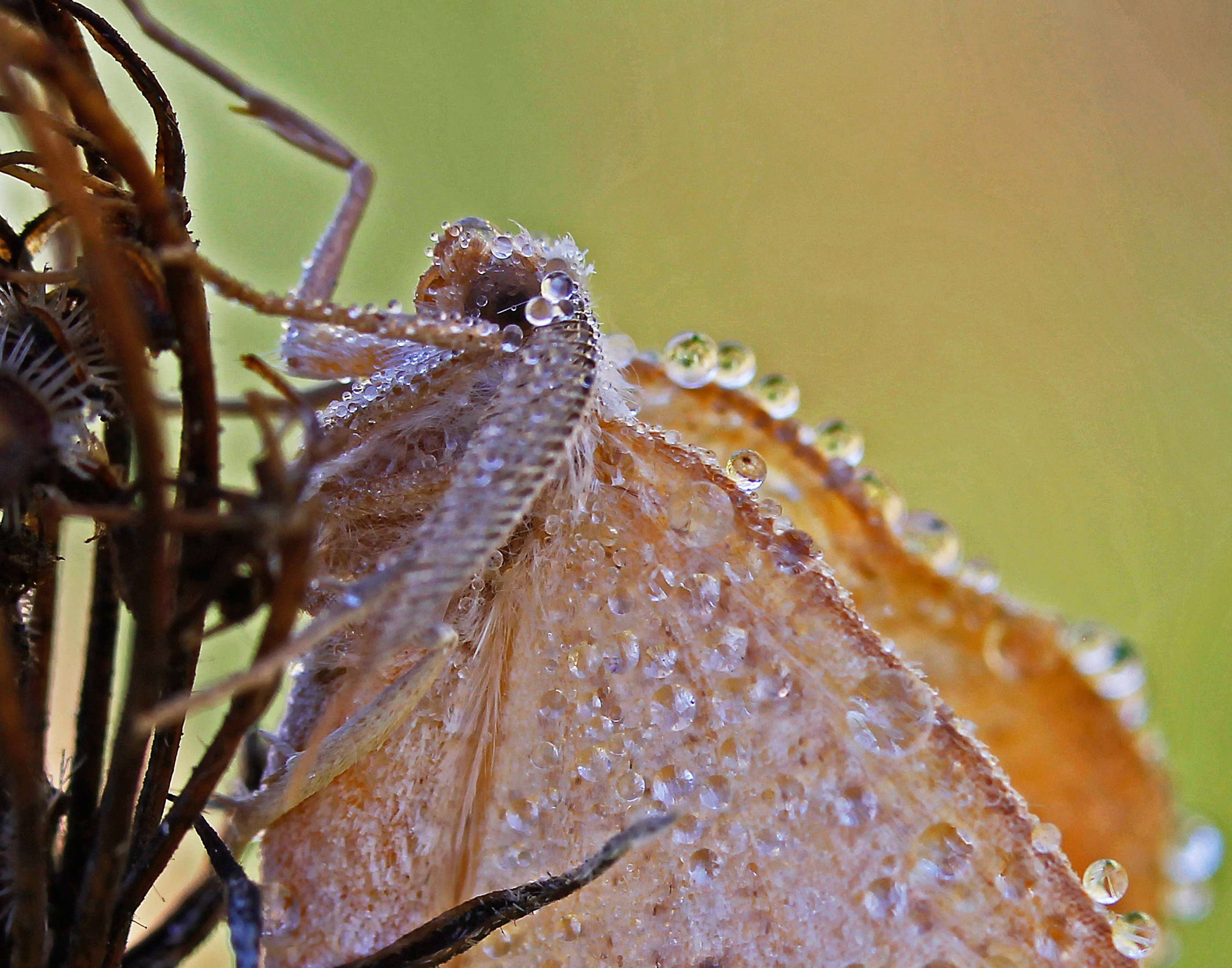 Moth's morning often means wet with lots of dewdrops