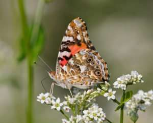 Painted Lady butterfly nectars on Buckwheat blossoms