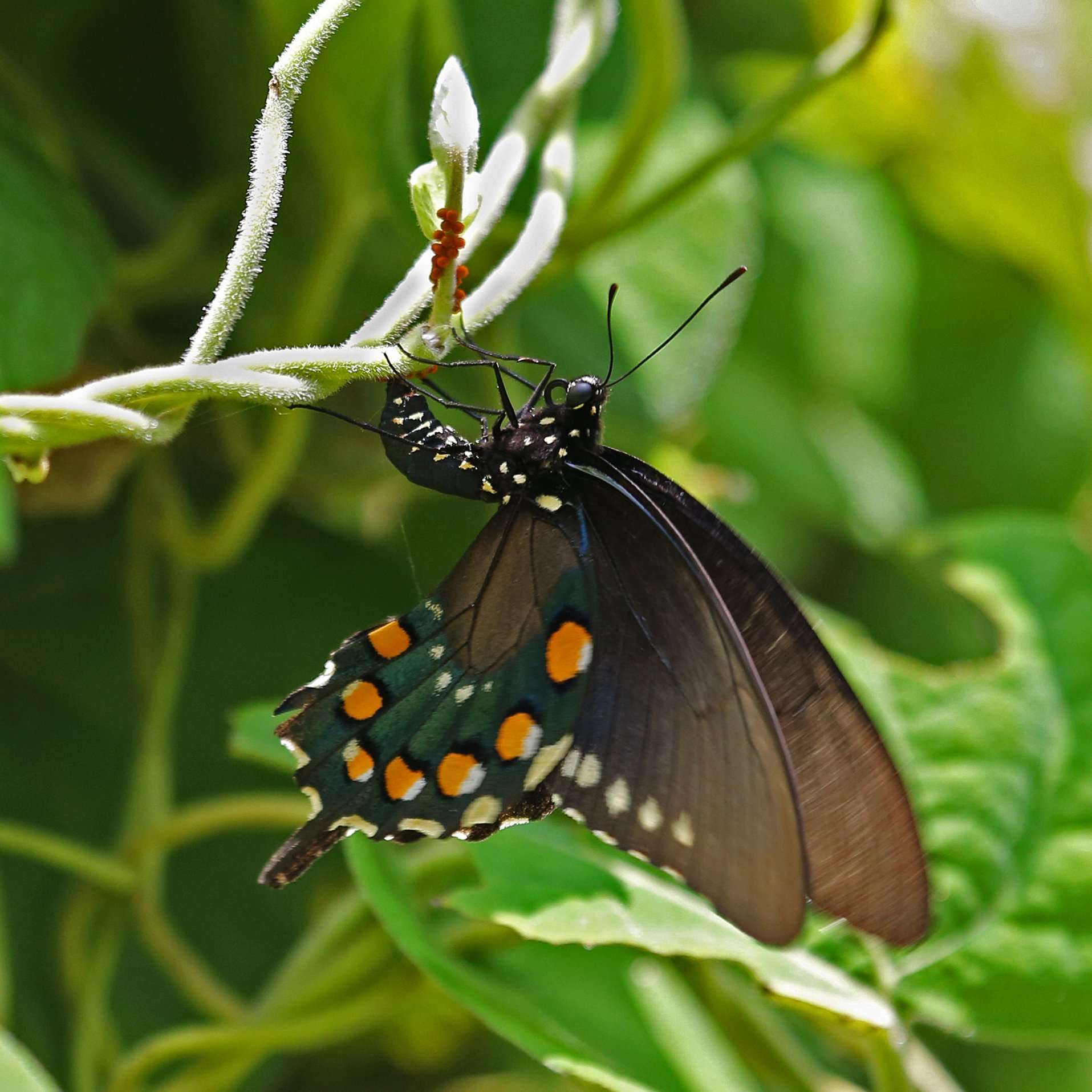 Pipevine Swallowtail Lays Eggs on native Dutchman's Pipe