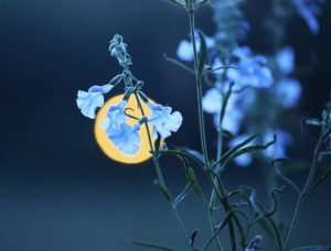 Pitcher Sage (Salvia azura) Moonlit Evening