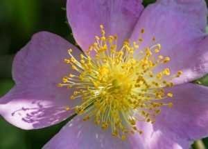 Prairie Rose has a heavenly fragrance. The native shrub grows well in Prairie State Park, Missouri