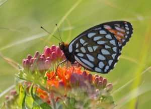 Regal Fritillaries are endemic to high quality tall grass prairies