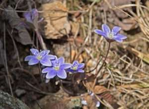 Native Round-Lobed Hepatica is sometimes called