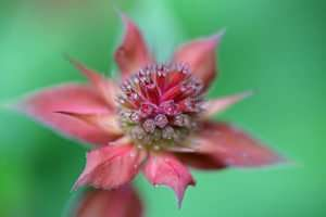 Scarlet Monarda has a bright red crown that looks very interesting as the flower opens