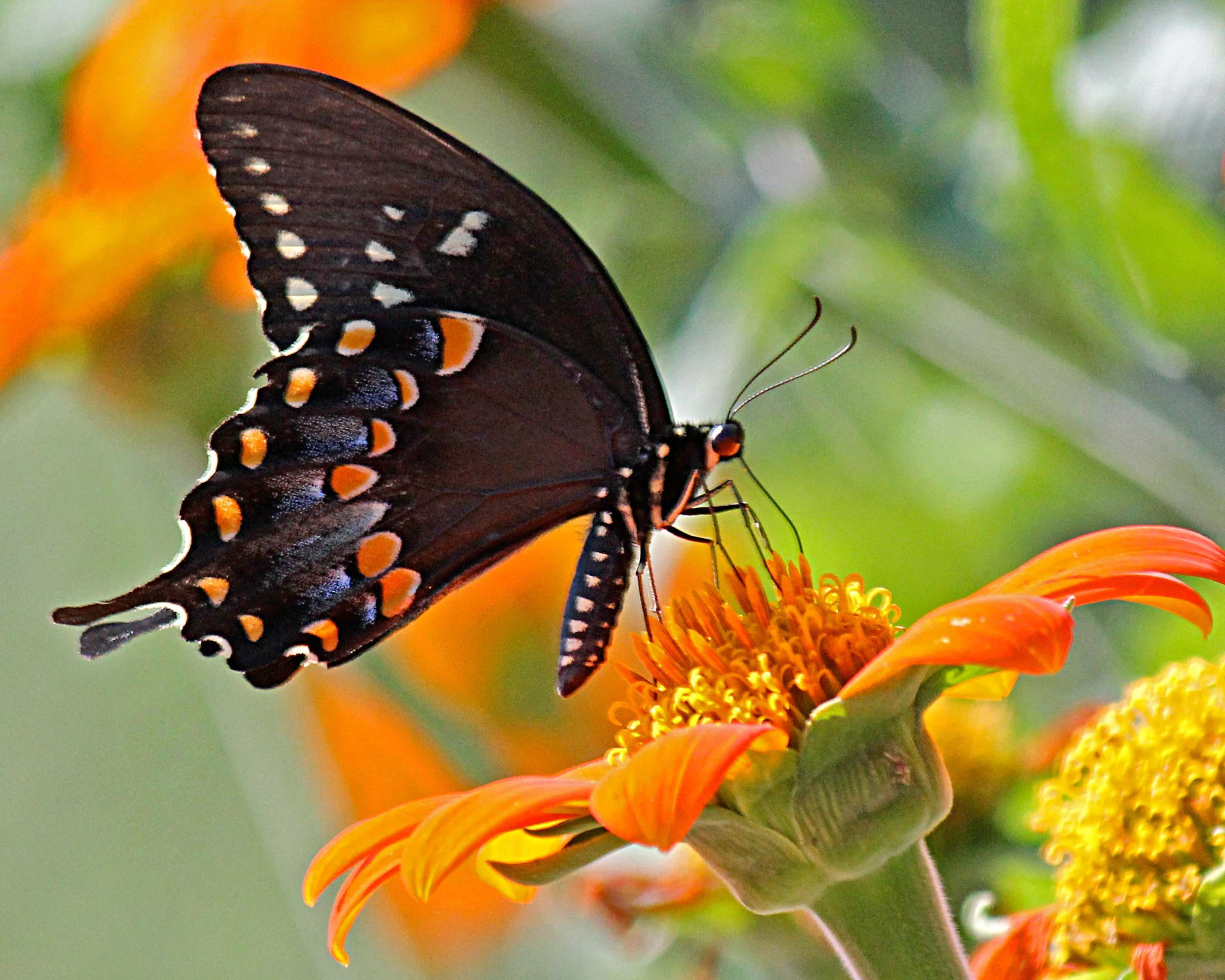 Spicebush Swallowtail nectars on Mexican Torch Sunflower