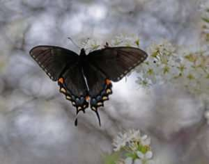 yet-unidentified Swallowtail nectars on wild plum blossoms