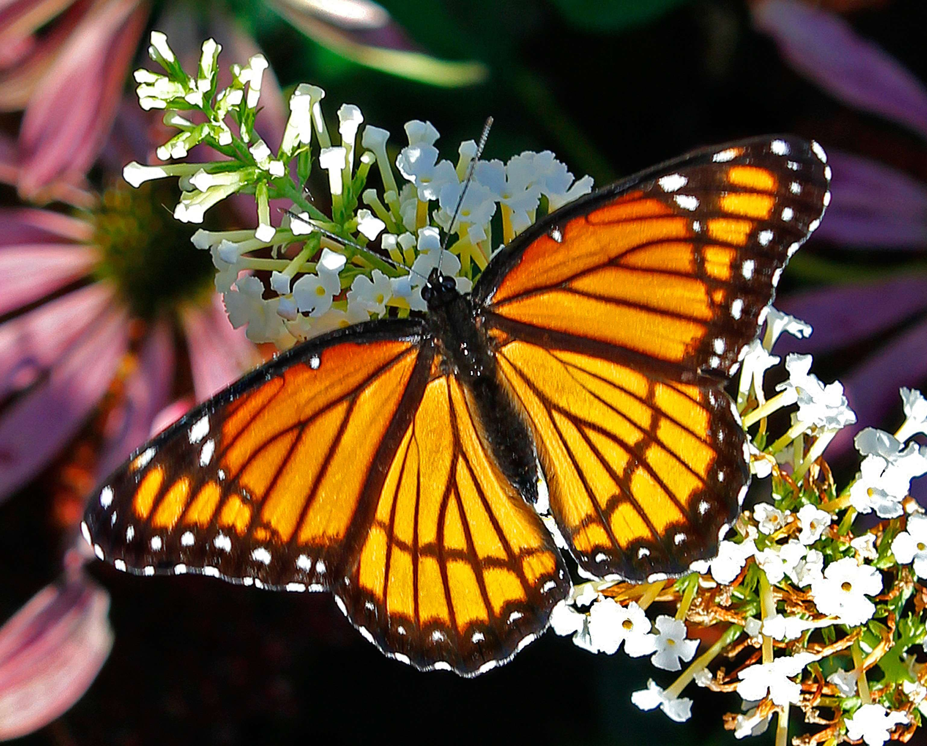 Viceroy Butterfly - dorsal view Powell Gardens