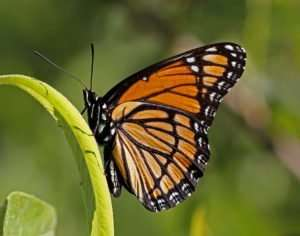 Viceroy Butterfly on Black Willow