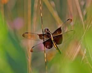 Widow Skimmers are superb hunters
