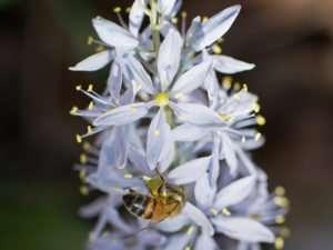 Native wild hyacinth has a wonderful fragrance.