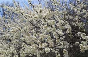 Wild Plum trees are beneficial for countless pollinators as well as wildlife
