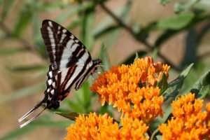 Zebra Swallowtail on Asclepias tuberosa