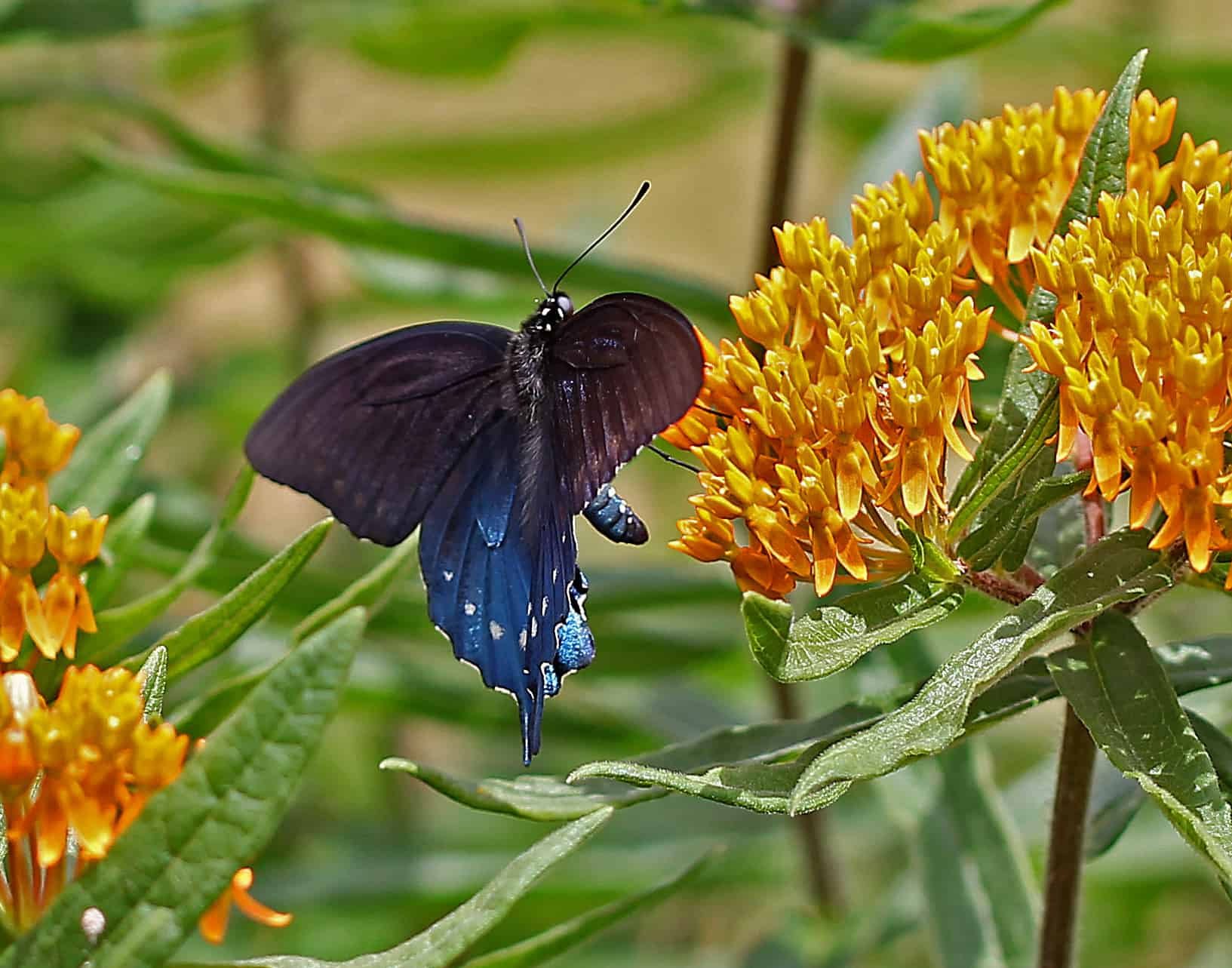 Pipevine Swallowtail Hovers over Milkweed photo by Gail E Rowley Ozark Stream Photography