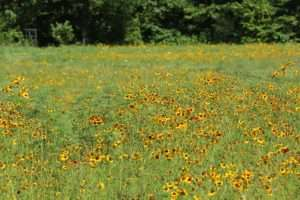 Plains Coreopsis photo by Gail E Rowley Ozark Stream Photography