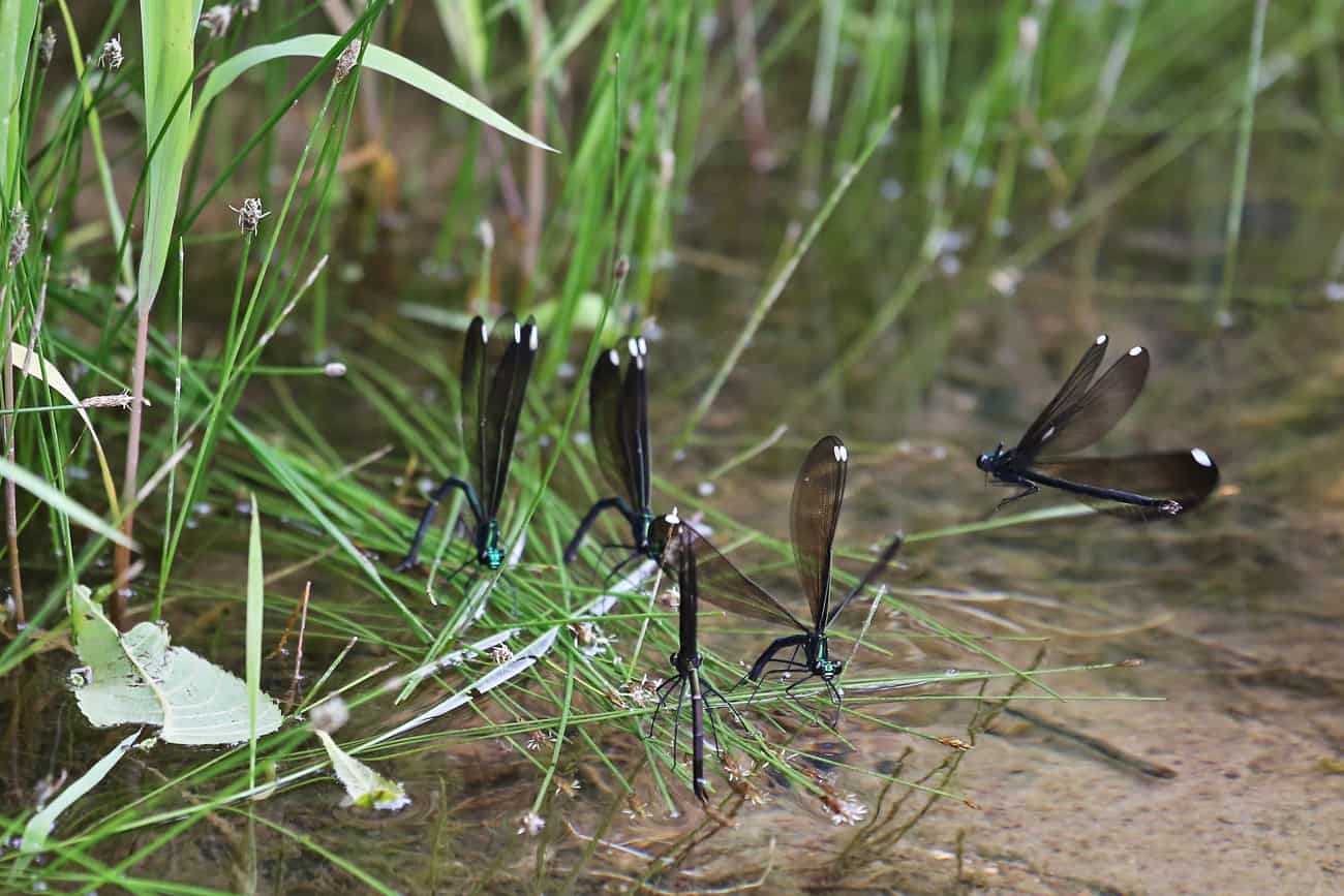 Damselflies lay eggs at creek's surface on water plants photo by Gail E Rowley Ozark Stream Photography