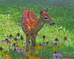 White-tailed Spotted Fawn photo by Gail E Rowley Ozark Stream Photography