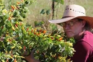 Tabasco Pepper Plant's full colors
