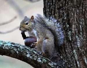 Gray Squirrel 'Walnut Peeler' photo by Gail E Rowley Ozark Stream Photography