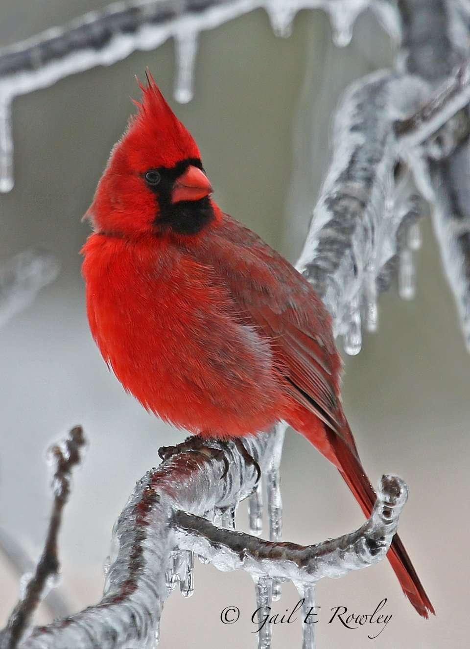 Male Cardinal Ice Tree