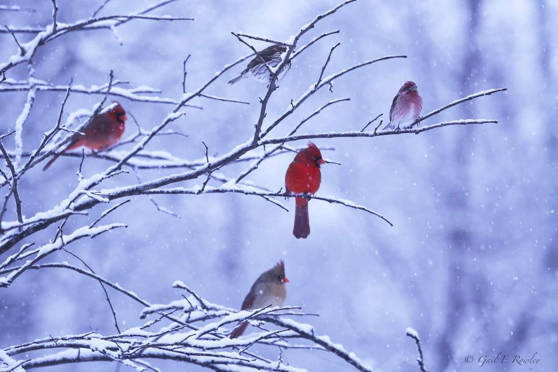 Songbirds in Ozark Snowstorm