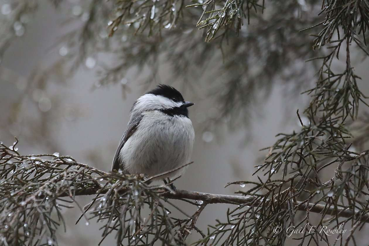 Carolina Chickadee Puffed-out in Wintry Cold