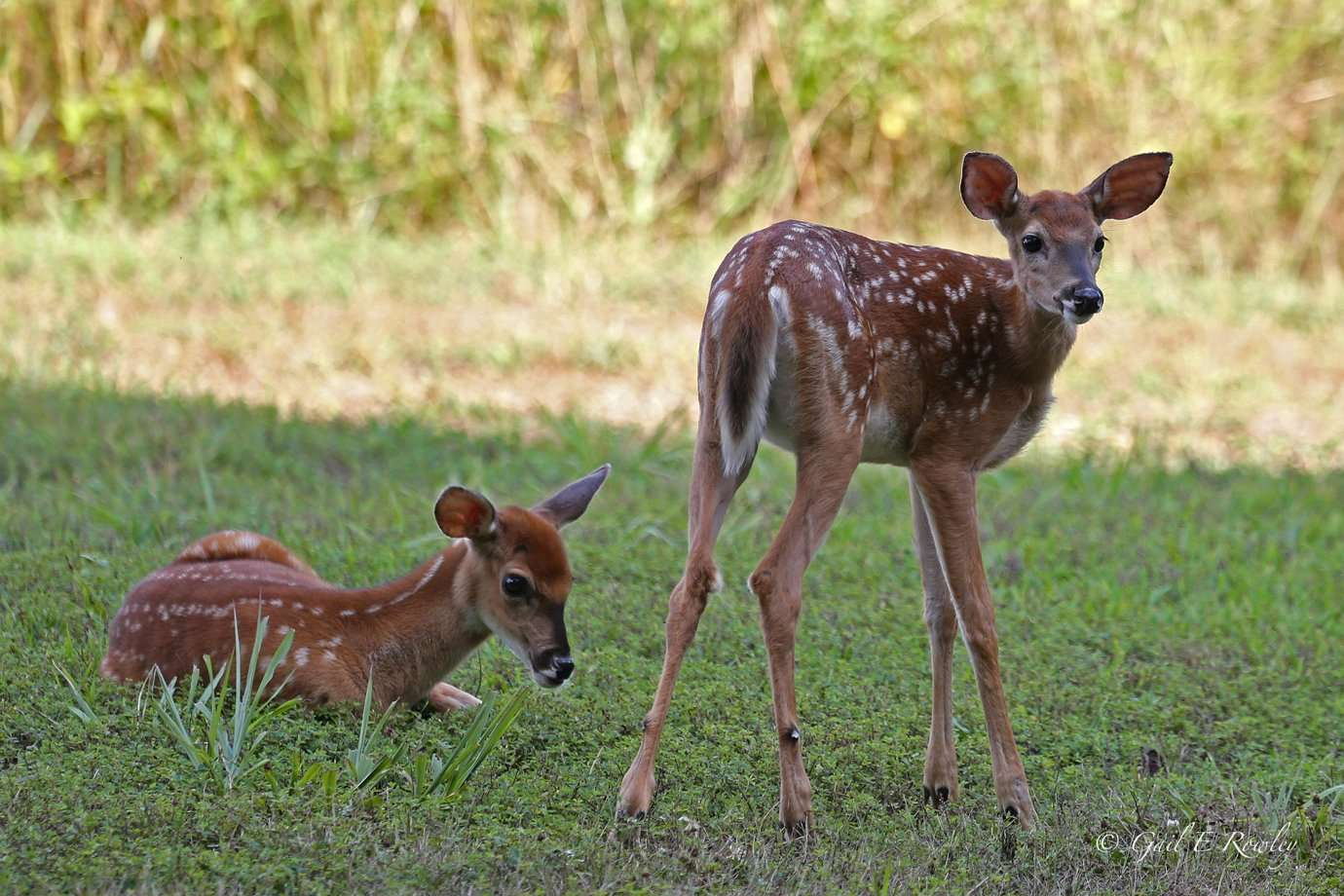 Twin Spotted Fawns