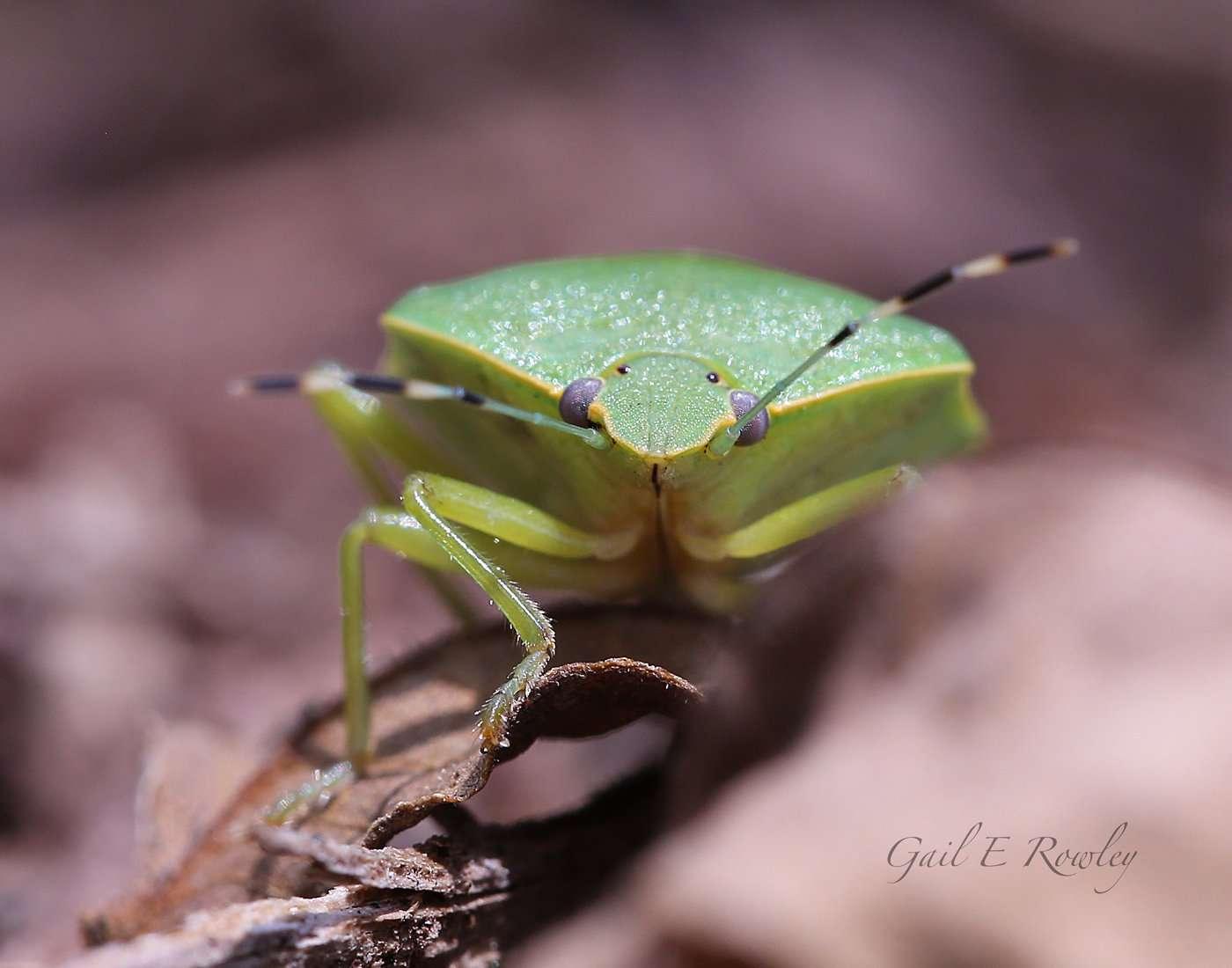 Green Soldier Bug (Chinavia hilaris)