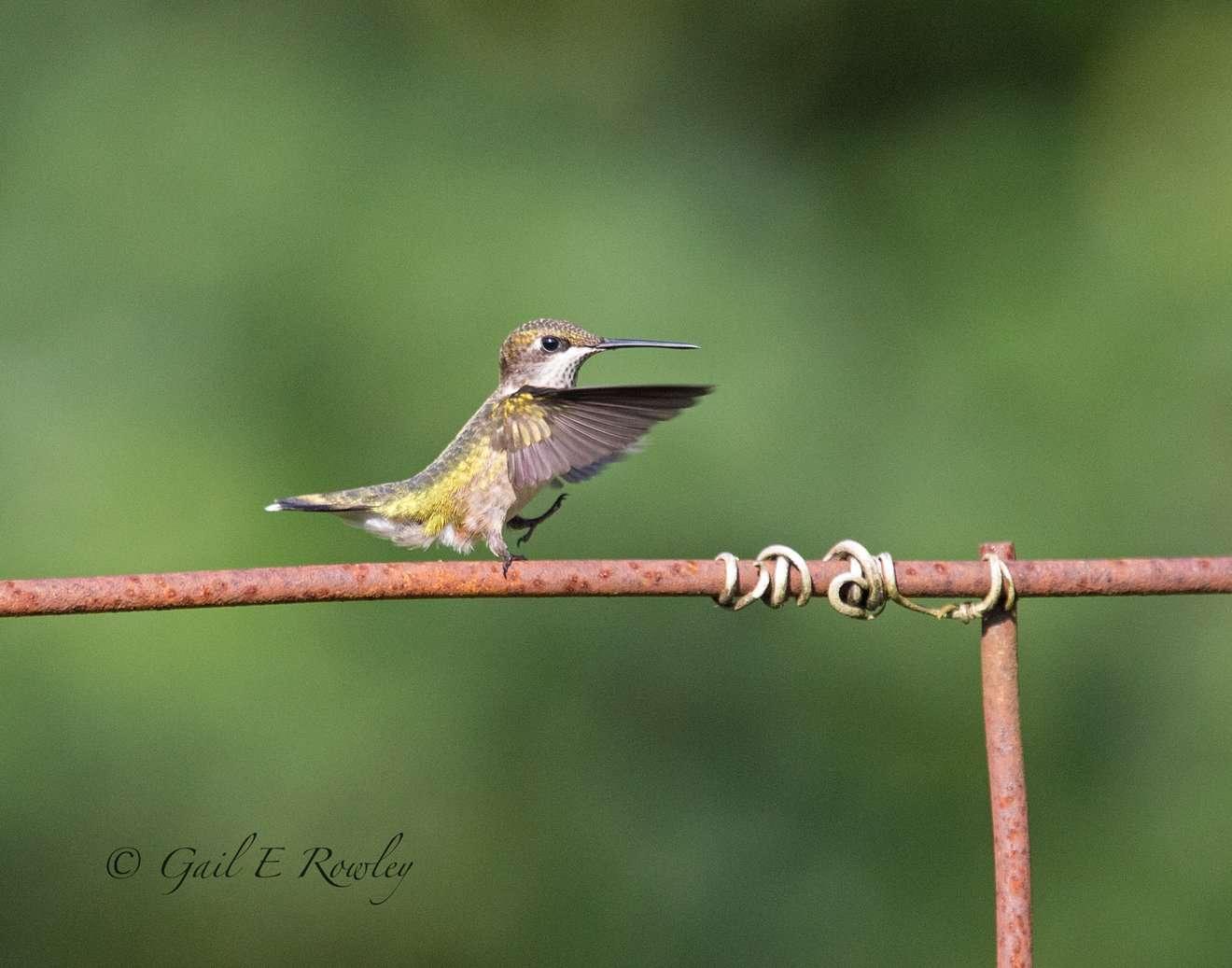 Hummingbird Dancing on Fence