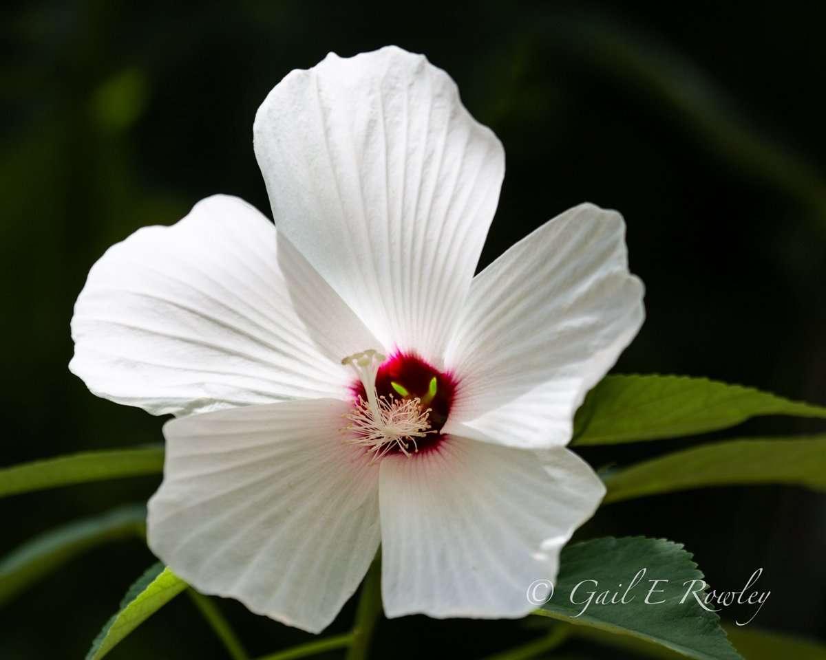 Rose Mallow - Native plant in Missouri Ozarks