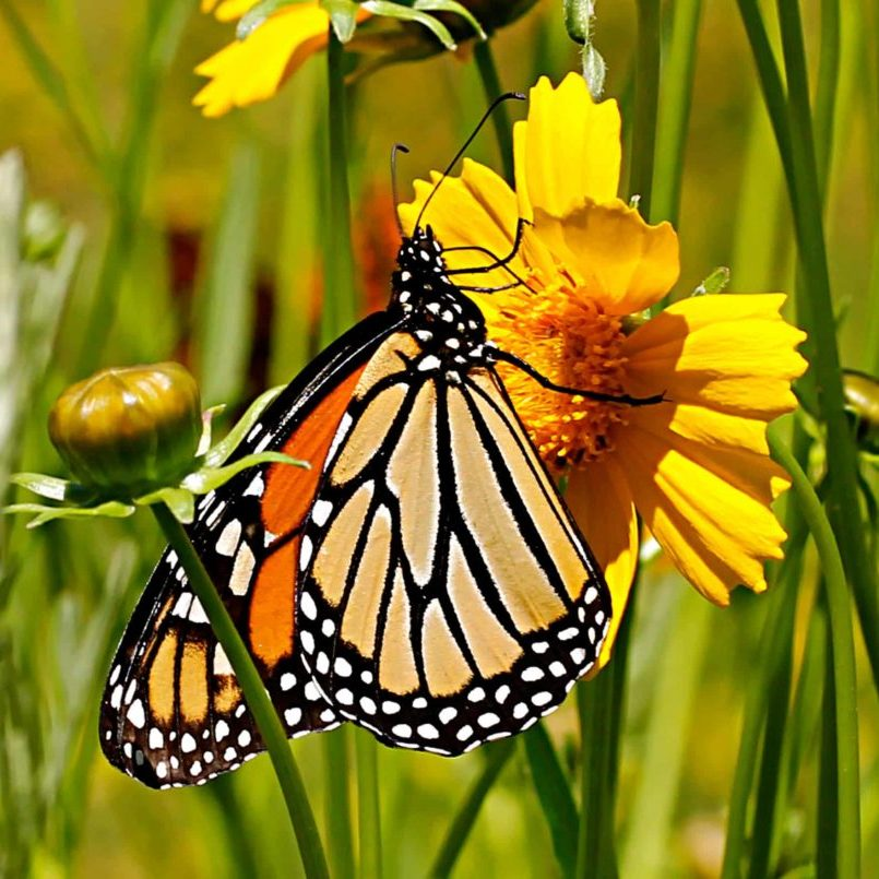 Monarch on Coreopsis lanceolata photo by Gail E Rowley Ozark Stream Photography